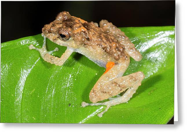 Orange Groined Rain Frog Greeting Card by Dr Morley Read