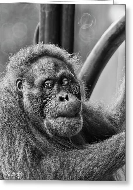 Pensive Digital Greeting Cards - Orangutan Mama Greeting Card by Phill  Doherty