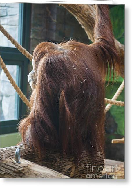 Cute Greeting Cards - Orangutang  Greeting Card by Mandy Judson