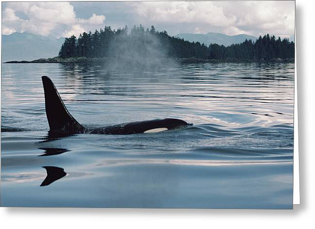Atlantic Killer Whale Greeting Cards - Orca Surfacing Johnstone Strait Bc Greeting Card by Flip Nicklin