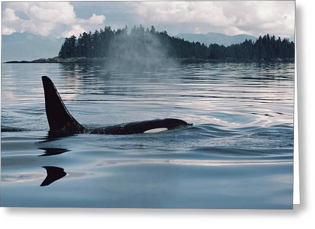 Botskop Greeting Cards - Orca Surfacing Johnstone Strait Bc Greeting Card by Flip Nicklin