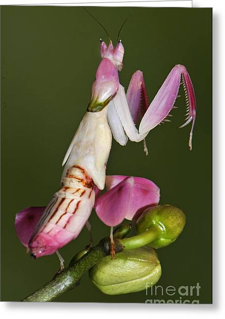 Orchid Mantis Greeting Card by Francesco Tomasinelli