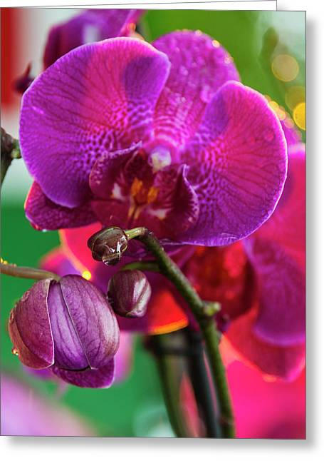 Orchid, Paramaribo, Suriname Greeting Card by Keren Su