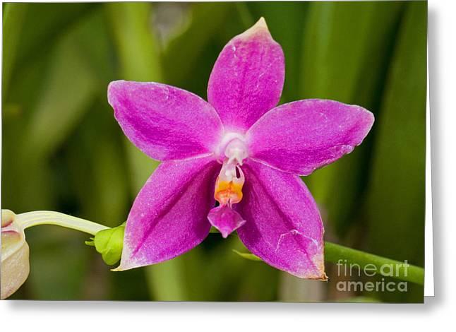 Orchid, Phalaenopsis Ember Greeting Card by Millard H. Sharp