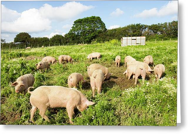 Organic Middle White Pigs Greeting Card by Ashley Cooper