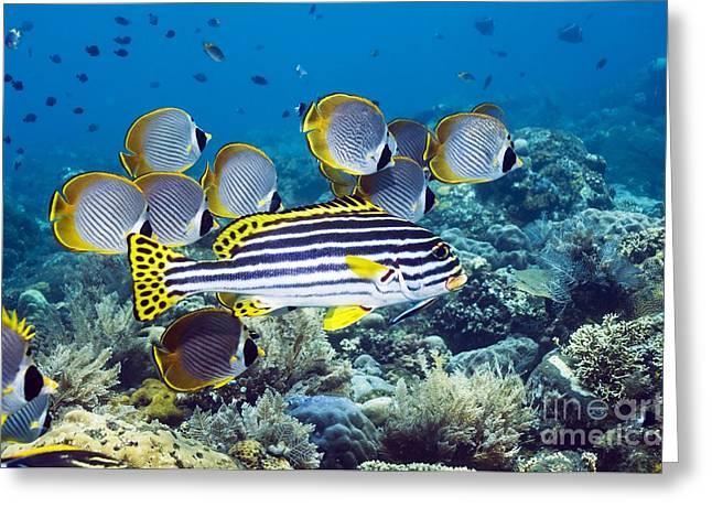 Reef Fish Greeting Cards - Oriental Sweetlips Fish Greeting Card by Georgette Douwma