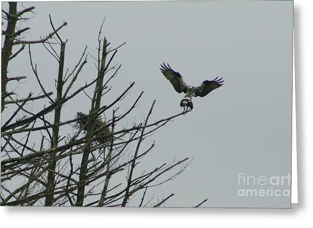 Wildlife Photos Greeting Cards - Osprey Love Greeting Card by Neal  Eslinger