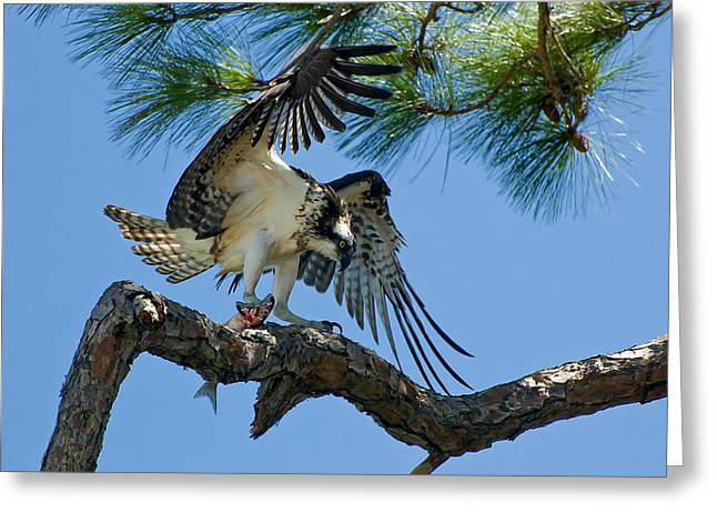 Beauty Mark Greeting Cards - Osprey Greeting Card by Rich Leighton