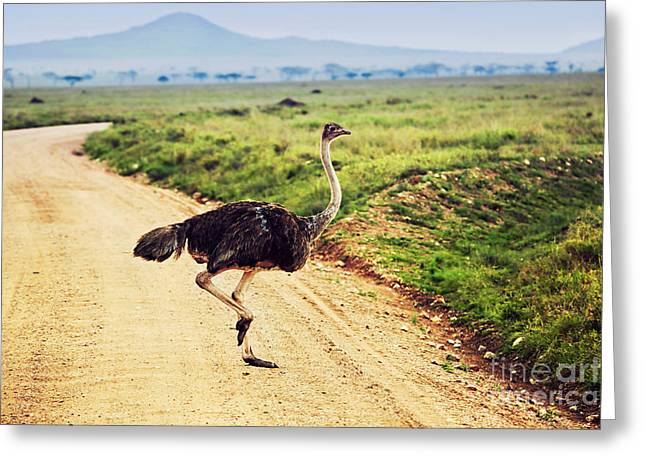 Ostrich Feathers Greeting Cards - Ostrich on savanna. Safari in Tanzania. Greeting Card by Michal Bednarek