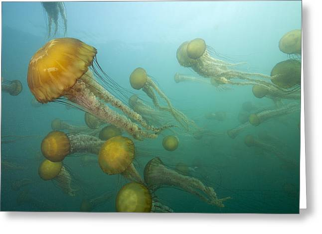 Monterey Bay Image Greeting Cards - Pacific Sea Nettles Monterey Bay Greeting Card by Richard Herrmann