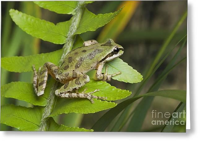 Hyla Regilla Greeting Cards - Pacific treefrog Greeting Card by Dan Suzio