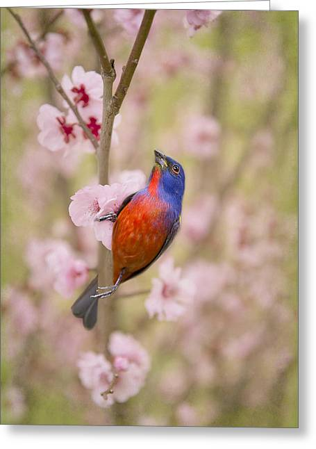 Passerine Greeting Cards - Painted Bunting in Spring Greeting Card by Bonnie Barry