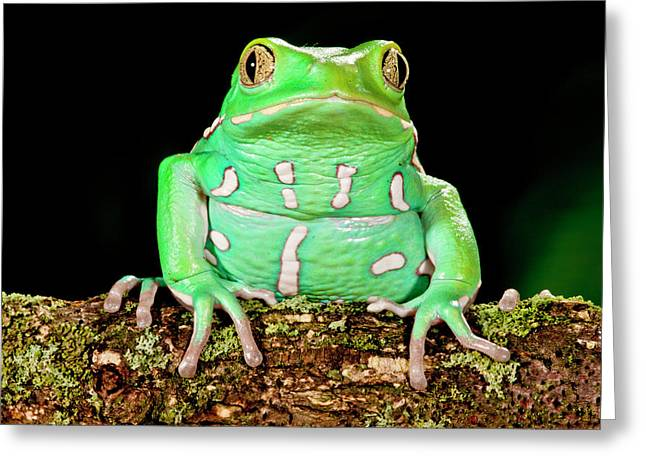 Painted Monkey Frog, Phyllomedusa Greeting Card by David Northcott