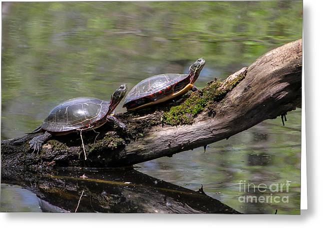 Turtle Pyrography Greeting Cards - Painted Turtle Sunning Greeting Card by Rebecca Brooks