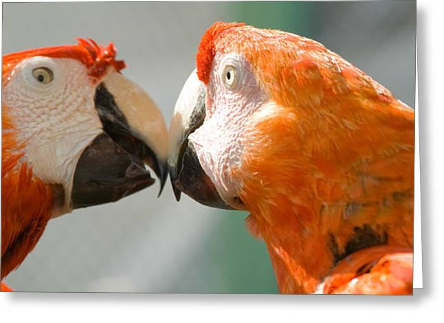 Love The Animal Greeting Cards - Pair of macaws Greeting Card by Celso Diniz