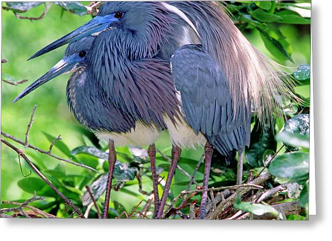 Egretta Tricolor Greeting Cards - Pair Of Tricolored Heron At Nest Greeting Card by Millard H Sharp