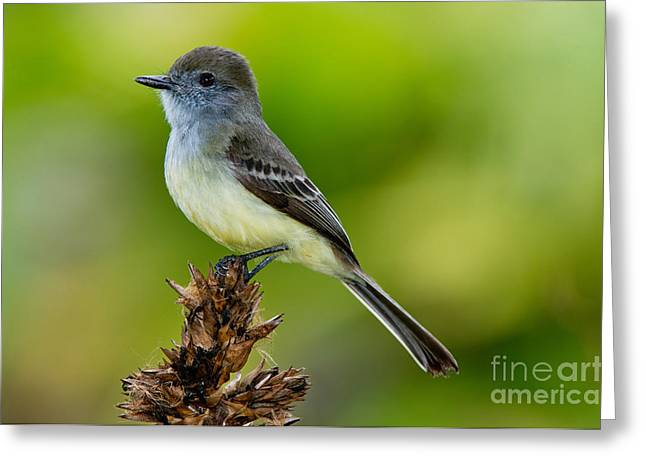 Flycatcher Greeting Cards - Pale-edged Flycatcher Greeting Card by Anthony Mercieca