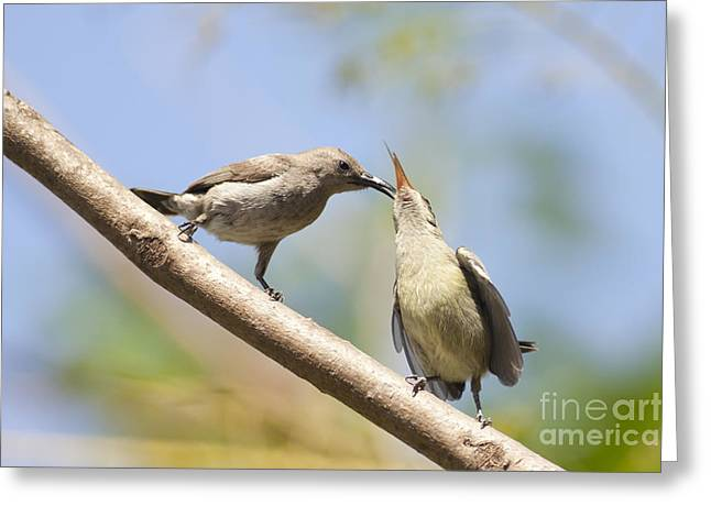 Sunbird Greeting Cards - Palestine Sunbird Cinnyris oseus Greeting Card by Alon Meir