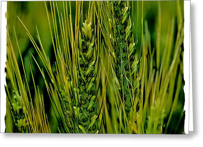 Cereal Digital Art Greeting Cards - Palouse Wheat IV Greeting Card by David Patterson