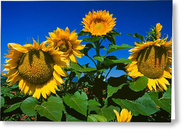 Yellow Sunflower Greeting Cards - Panache Starburst Sunflowers Greeting Card by Panoramic Images