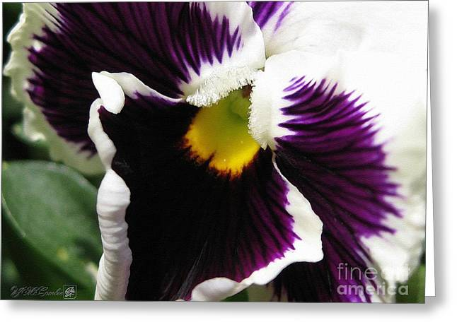 Mccombie Greeting Cards - Pansy from the Chalon Supreme Primed Mix Greeting Card by J McCombie