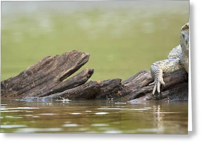 Animal Body Part Greeting Cards - Pantanal Caiman, Pantanal Wetlands Greeting Card by Panoramic Images
