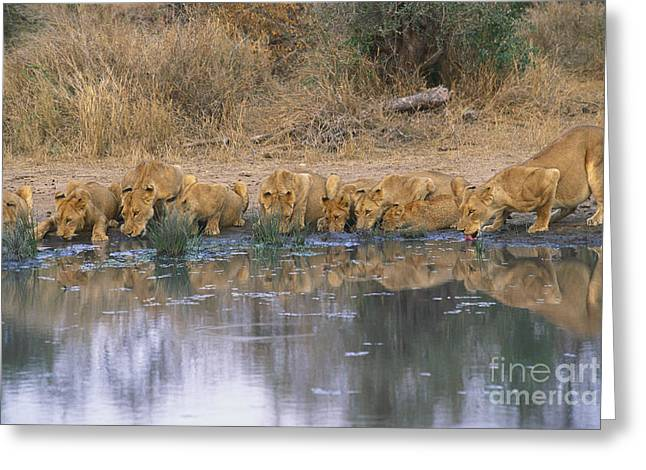 Reflections Of Trees In River Greeting Cards - Panthera Leo Greeting Card by Art Wolfe