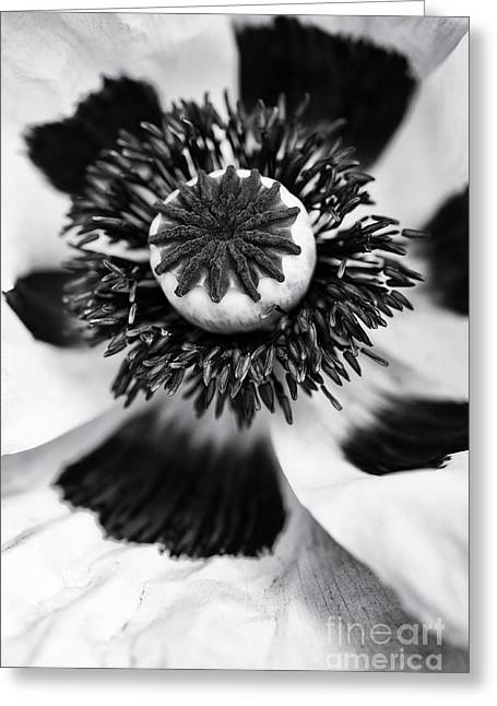 Flower Anthers Greeting Cards - Papaver Orientale Perrys White Greeting Card by Tim Gainey