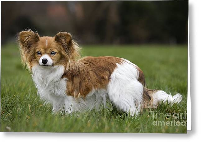 Toy Dog Greeting Cards - Papillon Dog Greeting Card by Johan De Meester