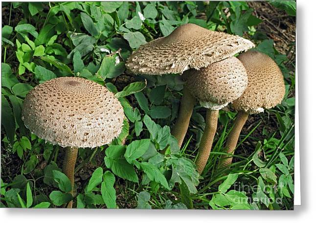 Europe Greeting Cards - Parasol Mushrooms Greeting Card by Bjorn Svensson