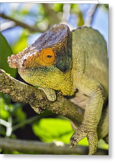 Madagascar National Park Greeting Cards - Parsons Chameleon Male Madagascar Greeting Card by Konrad Wothe