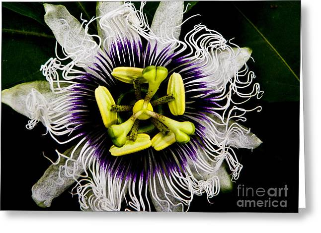 Passion Fruit Greeting Cards - Passion flower Greeting Card by Laarni Montano