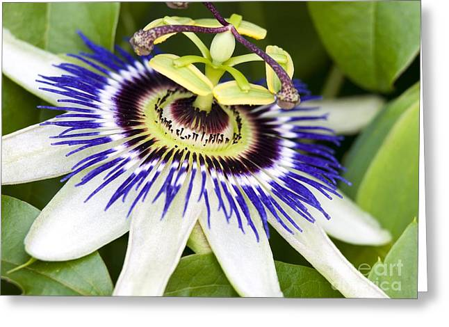 Passionflower Greeting Cards - Passion Flower Passiflora Caerulea Greeting Card by Adrian Bicker