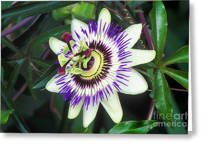 Passiflora Greeting Cards - Passion Flower Passiflora Sp Greeting Card by Kaj R. Svensson