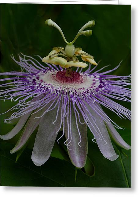 Passionflower Greeting Cards - Passionflower Greeting Card by Daniel Reed