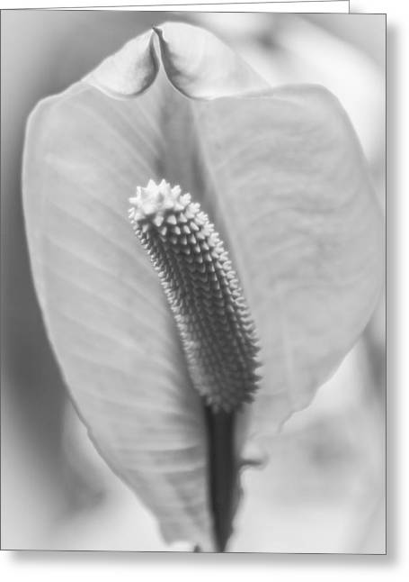 Whilte Flower Greeting Cards - Peace Lily Elegance Greeting Card by Carolyn Marshall