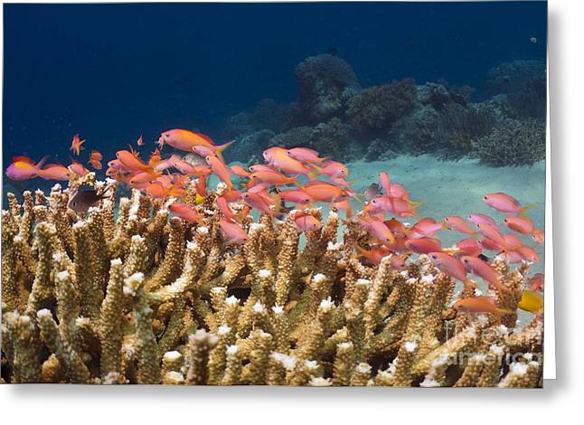 Brightly Colored Fish Greeting Cards - Peach Anthias And Staghorn Coral Greeting Card by Georgette Douwma