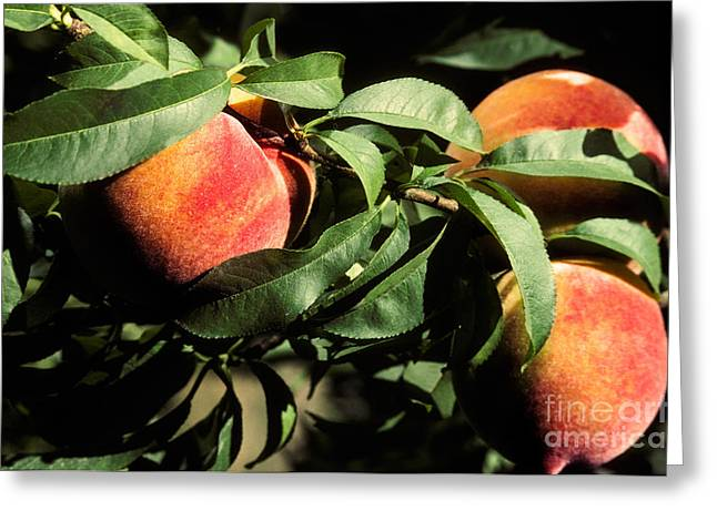 Prunus Persica Greeting Cards - Peaches Greeting Card by Ron Sanford