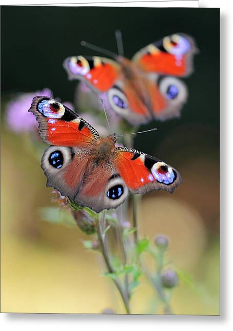 Wild Orchards Greeting Cards - Peacock butterfly Inachis io Greeting Card by Marek Mierzejewski