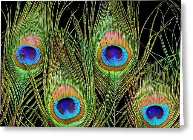 Peacock Feathers Greeting Card by Science Photo Library