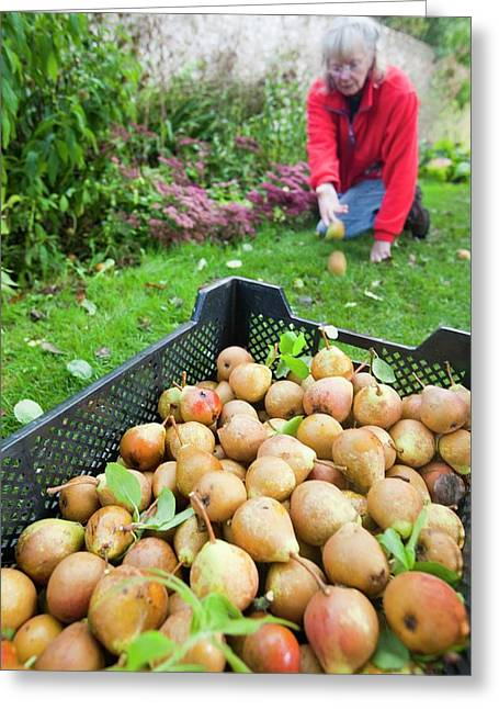 Pears Being Harvested To Make Perry Greeting Card by Ashley Cooper