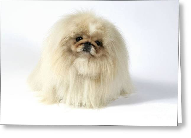 Toy Dog Greeting Cards - Pekingese Dog Greeting Card by John Daniels