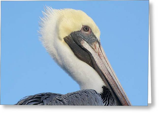 Pelican Up Close  Greeting Card by Paulette Thomas