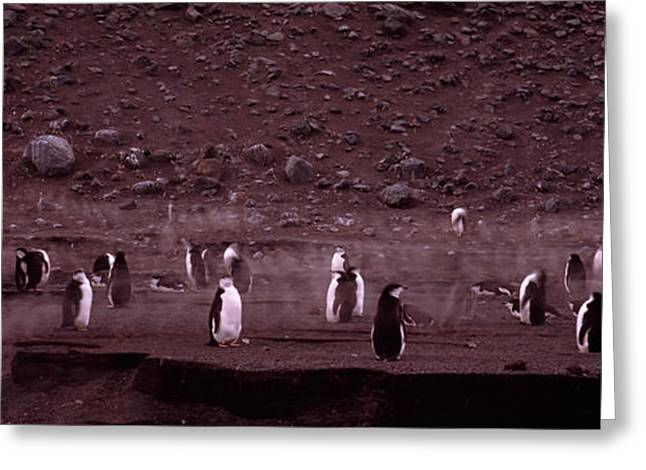 Sea Birds Greeting Cards - Penguins Make Their Way To The Colony Greeting Card by Panoramic Images