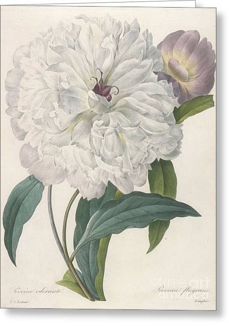 Floral Posters Greeting Cards - Peony Greeting Card by Pierre Joseph Redoute