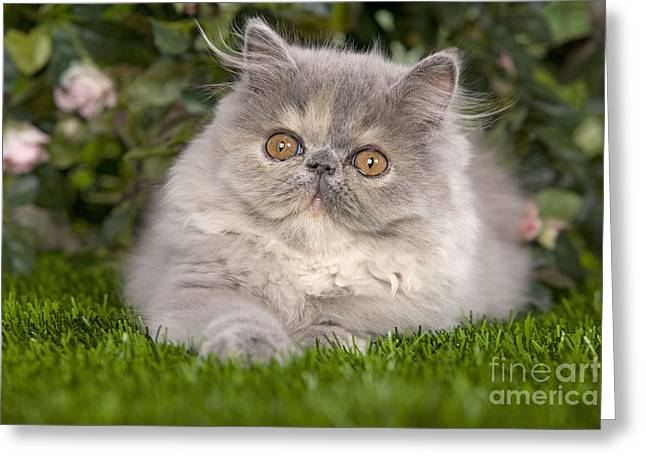Cat Breeds Portraits Greeting Cards - Persian Cat Kitten Greeting Card by Jean-Michel Labat