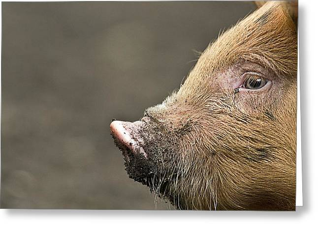 Hairy Pig Greeting Cards - Piglet Greeting Card by Linda Wright
