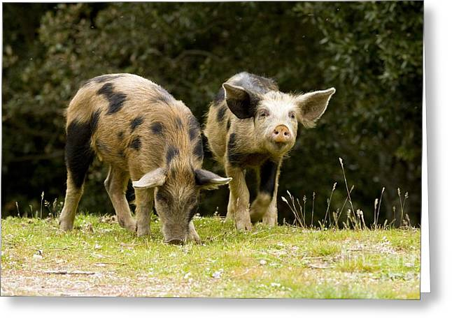 Piglets Greeting Cards - Piglets Foraging In Woodland Greeting Card by Bob Gibbons