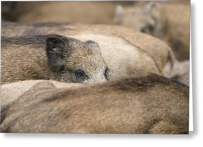 Piglets In Hochwildpark Rhineland Kommern Mechernich Germany Greeting Card by Ronald Jansen