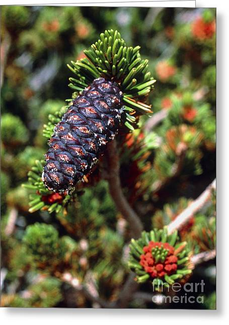 Pine Cones Greeting Cards - Pine Cone Greeting Card by Keith Kent